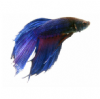 Blue Siamese Fighting Fish (Betta Fish)